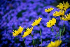 Желтая маргаритка цветет на предпосылке фиолетовой голубой астры Стоковая Фотография RF