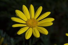Желтая маргаритка стоковые изображения rf
