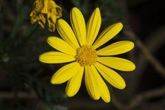 Желтая маргаритка стоковое изображение rf