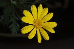 Желтая маргаритка стоковая фотография