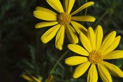Желтая маргаритка стоковые фотографии rf