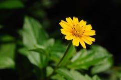 Желтая маргаритка Стоковые Изображения
