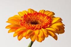 Желтая маргаритка Gerber Стоковая Фотография RF