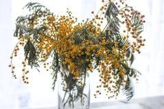 Желтая мимоза Красивые желтые цветки мимозы стоковое изображение rf