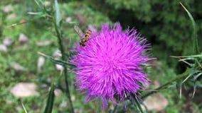 Желтая муха собирает нектар от фиолетовых цветков видеоматериал