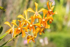 Желтая орхидея, Mokara Стоковые Фотографии RF
