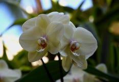 Желтая орхидея Phalenopsis зацветая в саде Стоковые Изображения
