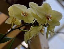 Желтая орхидея Phalenopsis зацветая, с много цветенй Стоковые Фотографии RF