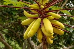 Желтая папапайя, или лапка лапки, Carica папапайя Плоды вися на дереве, стоковая фотография rf
