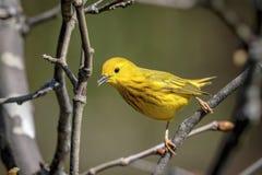 Желтая певчая птица в долине Гудзона Стоковое фото RF