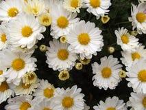 Желтая предпосылка цветков цветения хризантемы стоковое изображение rf
