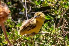 Желтая птица залатанная на дереве стоковое изображение rf
