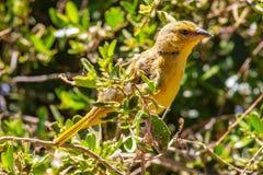 Желтая птица залатанная на дереве стоковое фото