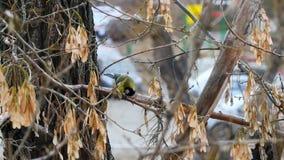 Желтая птица на дереве ест видеоматериал
