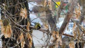 Желтая птица на дереве ест акции видеоматериалы