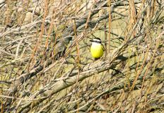 Желтая птица садить на насест на поляке Стоковое Фото