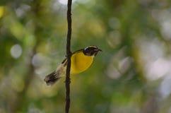 Желтая птица Bananaquit держа дальше к лозе стоковая фотография rf