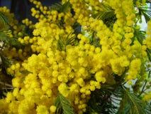 Желтая пушистая мимоза стоковое изображение rf