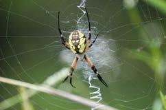 Желтая сеть паука сада стоковое изображение rf