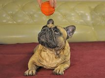 Желтая собака земли приходит для праздновать китайского кануна Нового Годаа с Стоковое Фото