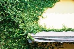 Желтая стена дома вполне завода вызвала pumila Фикуса с smal стоковое фото rf