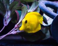 Желтая тянь в морском танке стоковые фото