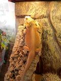 Желтая ящерица взбираясь утес Стоковое Изображение