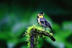Желтая-cheeked синица стоковое изображение