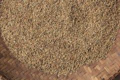 Желтея семена риса готовые быть обработанным в рис стоковые изображения