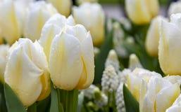 Желтоватые влажные тюльпаны стоковая фотография