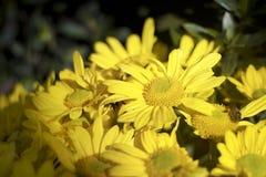 Желтоватые маргаритки в утре Стоковое Фото