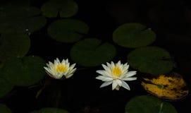 Желтое ¼ Œlotus lotusï Œwater ¼ ï ЛОТОСА в солнце стоковая фотография