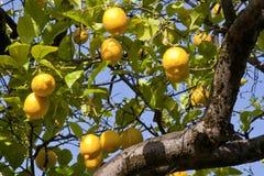 Желтое дерево лимона стоковое изображение