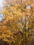 Желтое дерево осени выходит хобот ветвей текстуры предпосылки Стоковые Фото