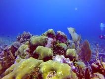 Желтое заплывание рыб за вентилятором моря в островах залива Белиза стоковые фото