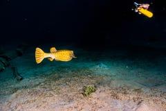 Желтое заплывание Boxfish в Красном Море стоковая фотография