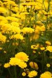 Желтое зацветая множество толпить цветком Стоковая Фотография RF