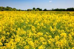 Желтое зацветая поле Кент южная Англия Великобритания рапса Стоковое Изображение