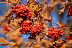 Желтое и красное дерево rowanberry осени с зрелыми ягодами Стоковые Фото