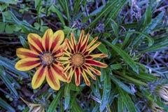 2 желтое и красные цветки gazania стоковые фотографии rf
