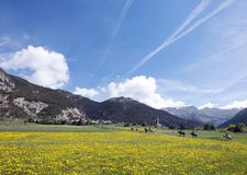 Желтое лето цветет на луге гор около ceillac в queyras французского parc региональных стоковая фотография