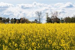 Желтое поле во время лета стоковое изображение rf