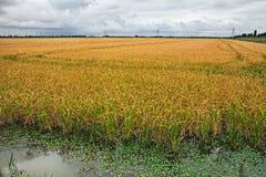 Желтое поле в парке перепада Po, Италия риса Стоковое Изображение RF