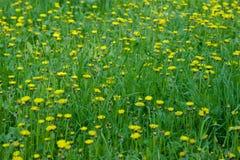 Желтое поле одуванчиков в парке, Ulyanovsk стоковое фото rf