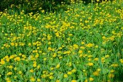 Желтое поле одуванчиков в парке, Ulyanovsk стоковая фотография
