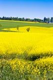 желтое поле около Sobotka, богемский ландшафт рапса рая, чехия стоковое фото rf