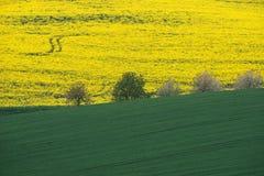 Желтое поле рапса с зеленым полем и деревья на южном Moravi Стоковые Изображения