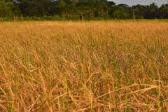 Желтое поле травы стоковая фотография rf