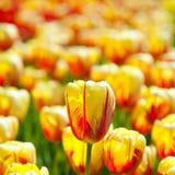 Желтое поле тюльпанов Стоковое Изображение RF