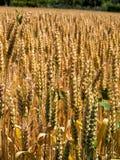 Желтое поле ушей пшеницы стоковые фотографии rf